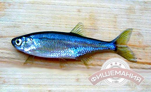 места и методы ловли рыбы верховки