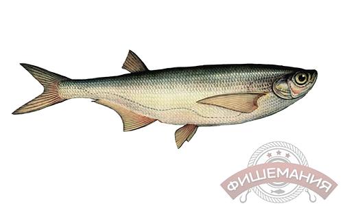 внешний вид и строение рыбы чехонь